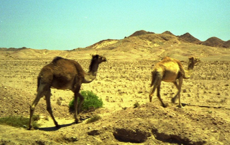 Camels in the Sinai desert