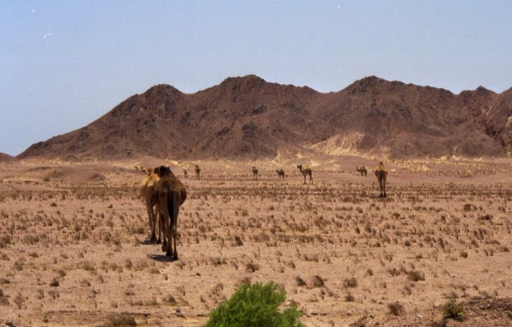 A herd of camels in Sinai